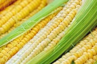Modern mısır ve buğday GDO mu?